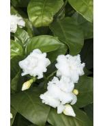 Double-Flowering Crape Jasmine