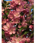 Emerald Spire® Flowering Crabapple