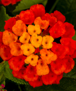 Hot Blooded™ Lantana