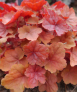 Caribbean Sea Heuchera