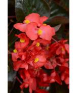 Megawatt™ Red Bronze Leaf Begonia