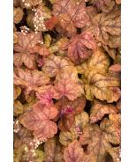 Redstone Falls Trailing Heucherella