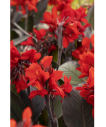 CANNOVA® Bronze Scarlet Canna Lily