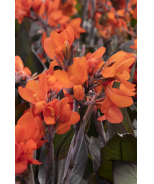 CANNOVA® Bronze Orange Canna Lily