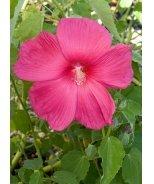 Crimson Wonder Rose Mallow