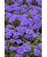 EnduraScape™ Blue Improved Verbena