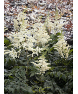 Vision in White Astilbe