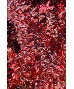 Raspberry Dazzle® Crape Myrtle