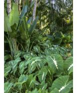 Royal Hawaiian® White Lava Elephant Ear