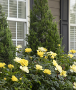 Grace N' Grit™ Yellow Shrub Rose