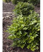 Emerald Heights® Evergreen Distylium