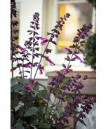 Skyscraper™ Dark Purple Salvia
