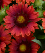Mesa Red Blanket Flower