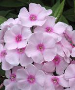 Sweet Summer™ Sensation Garden Phlox
