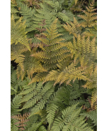Koidzuma's Wood Fern