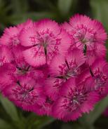Diabunda® Dianthus