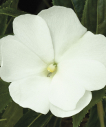 Super Sonic® New Guinea Impatiens