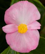 Tophat™ Begonia