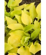 Golden Prayers Hosta
