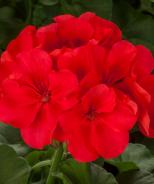 Calliope® Large Geranium