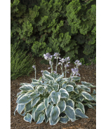Frosty Ribbons® Hosta