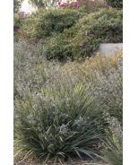 Cassa Blue™ Flax Lily