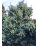 Guardian® Indigo Cypress