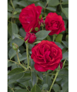 Nitty Gritty™ Red Rose