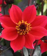 Happy Days™ Cherry Red Dahlia