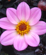 Happy Days™ Pink Dahlia