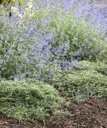Icee Blue® Juniper