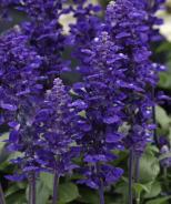 Velocity™ Blue Salvia