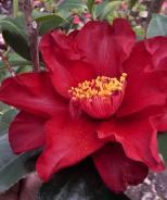 Julius Nuccio Camellia