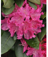 Holden Rhododendron