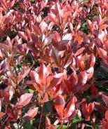 Red Dynamo Photinia