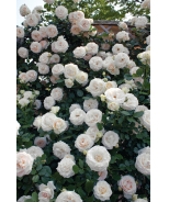 White Eden® Climbing Rose