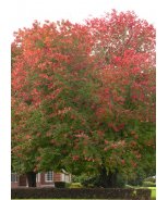 Red Sunset® Red Maple