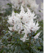 Rock & Roll® Astilbe