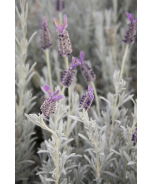 Silver Anouk Spanish Lavender