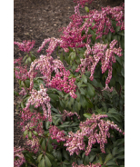Enchanted Forest® Impish Elf™ Lily of the Valley Shrub