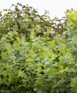 Gro-Low Fragrant Sumac