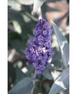 True Blue Butterfly Bush
