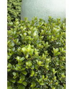 Emerald Magic® Meserve Holly