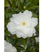 White Doves Camellia