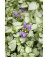 Orchid Frost Spotted Dead Nettle