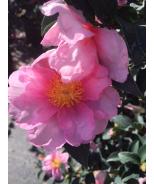 Kanjiro Pink Camellia