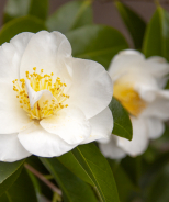 Silver Waves Camellia