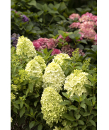 Candy Apple™ Hydrangea