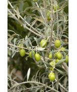 Haas Improved Manzanillo Fruiting Olive