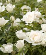 Icecap™ Rose